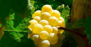 Fruta de temporada: Beneficios de la uva.